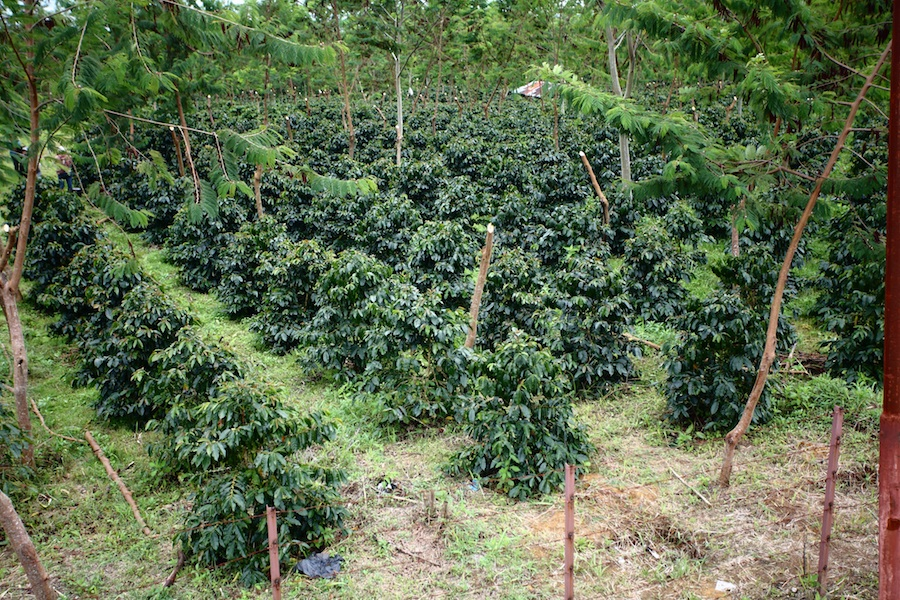 COFFEE-ARABICA-TREE
